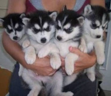 Siberian Husky Puppies with Blue Eyes1