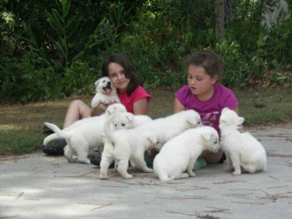 beautiful White German Shepherd Puppies