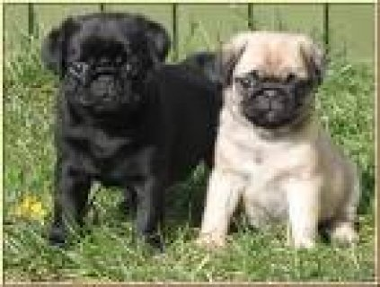 Well train pug puppies For Re-Homing