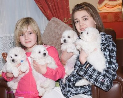 beautiful Bichon Frise puppies for free adoption
