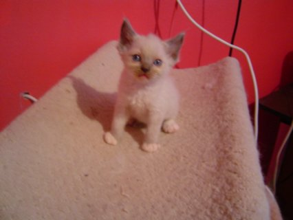 cute ragdol kitten for adoption