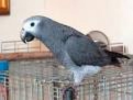 BEAUTIFUL AFRICAN GREY PAROTS AND FERTILE EGGS FOR FREE ADOPTION