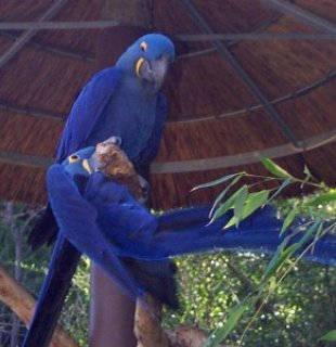 Hyacinth Macaw Pair for Adoption,,,,