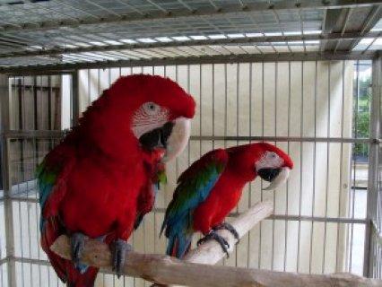 Parrots for sale,,,,,,,,,,,,,