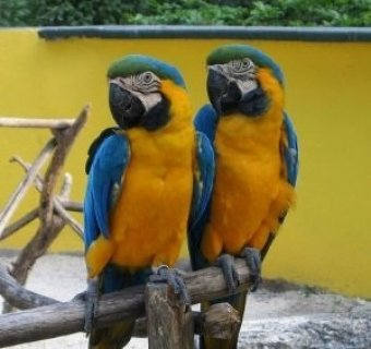 Blue and Gold Macaws for free adoption ,,,,,o
