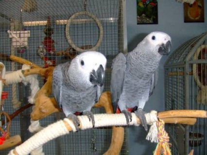 FULL WEANED AFRICAN GREY BABIES FOR SALE