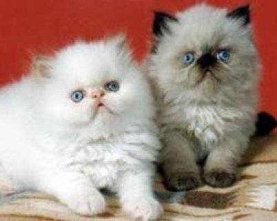 Himalayan Kittens Available/////