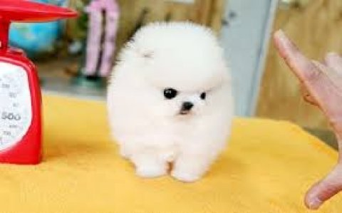 Adorable Teacup Size Pomeranian puppies for Adoption11