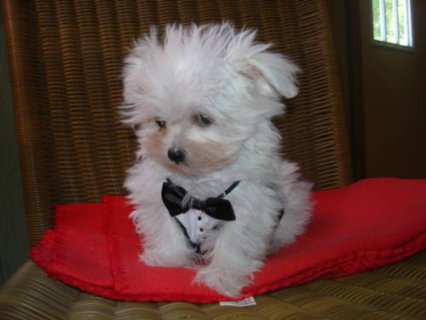Cute male and female Snow white Maltese puppies to give it out
