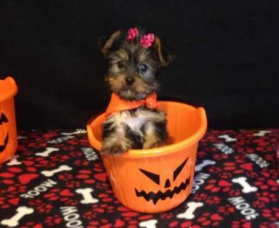 Princess is an adorable Yorkie.