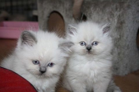 Persian Kittens for re-homing