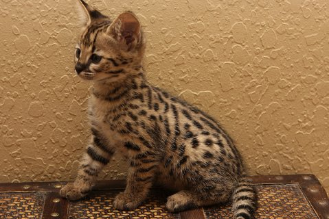 Awesome F2 Savannah Kittens