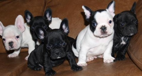 صور French Bulldogs for sale 1