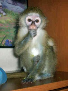 lovely baby capuchin monkey for adoption