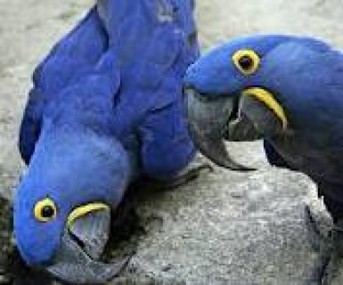 صور Pair Of Hyacinth Macaw Parrots For Free 1