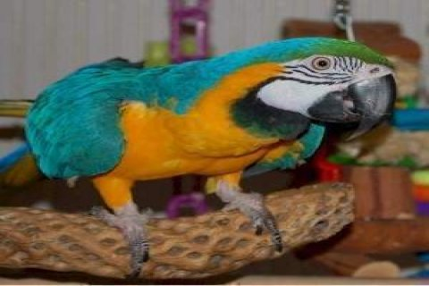 adorable blue and gold macaw parrots,ready to go for adoption