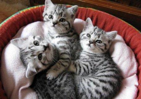 British Short hair kittens For sale