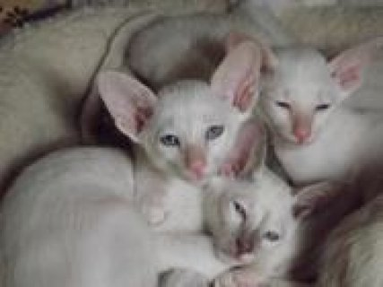 Adorable and cute Siamese kittens up for sale