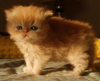 Russian blue Kittens availabale