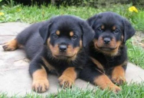 12 Weeks Old Rottweiler Puppies for sale