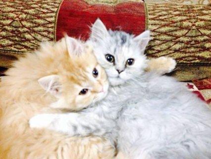 قط شيرازي اصلي لعووب