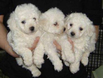 Bichon Frise puppies for free adoption11