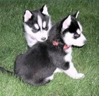Cheap Siberian Husky Puppies for Sale