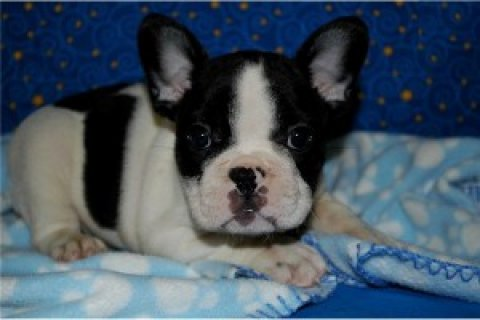 صور Healthy and Cute French Bulldogs for Adoption 1