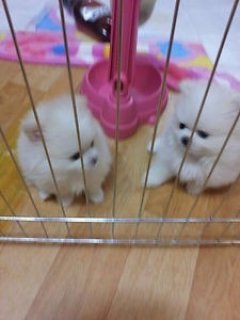 Charming Pom Puppies