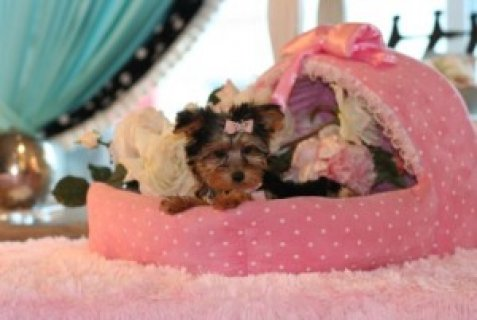 Very Small Yorkie Puppies