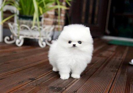 Pomeranian Puppy for Sale........................