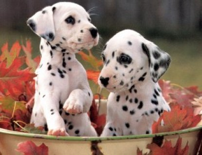 Fantastic and Charming Male and Female dalmatian puppies for ado