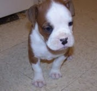 صور very beautifull and cute boxer puppies for adoption 1
