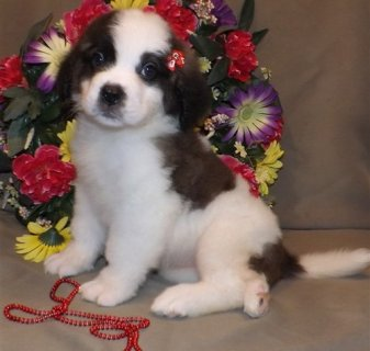Saint Bernard puppies available....