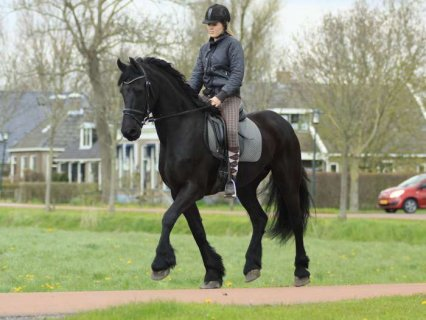 Black Mare Well trained Horse for sale , Frisian horse ready to