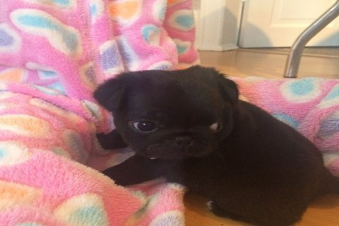 Top Quality Black Pug Puppies Available For Sale