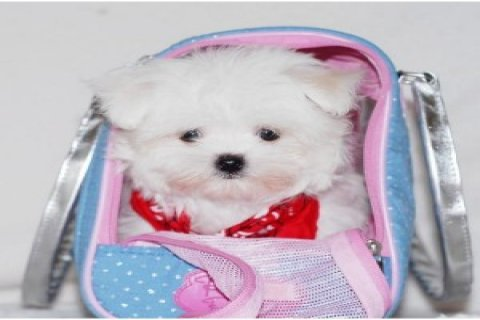 Super Maltese Puppies Now Available For Sale