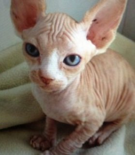Bold and Wrinkly Sphynx Kittens For Sale