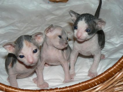 صور ..Sphynx Kittens Available Now,,,,,,....////// 1