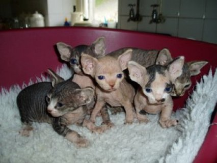 صور Charming Sphynx Kittens Ready For Adoption.....//// 1