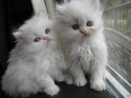 Two White Persian Kittens...////