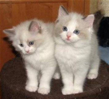 صور Excellent Ragdoll Kittens Available For Any Good Homes/////// 1