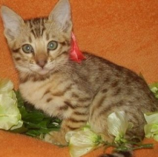 Bengal for sale ...///