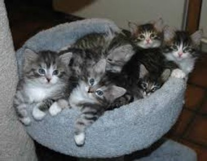 صور Siberian Kittens for free adoption///////// 1