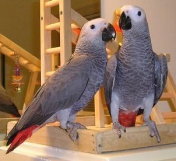 صور talking African Gray Parrots for Adoption 1