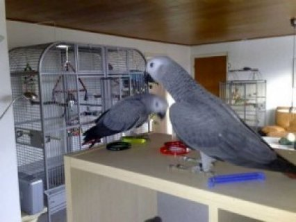 1yr Old Congo African Grey Parrots, Adoption