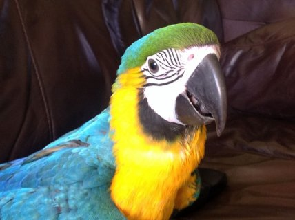 Hand-rared pair of blue and gold Macaws parrot  for sale