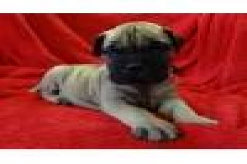 Cute AND ADORABLE Bullmastiff Puppies For Sale1111