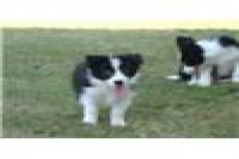 Pure Breed Border Collie Puppies Ready For Rehoming 333