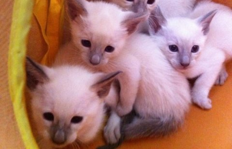 Beautiful litter of Siamese Kittens for sale Six beautiful kitte
